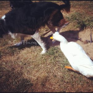Bad duck! Leave the dog alone!