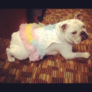 Bulldog Ballet