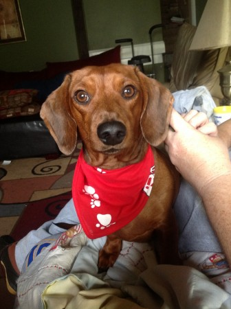 Red short haired dachshund