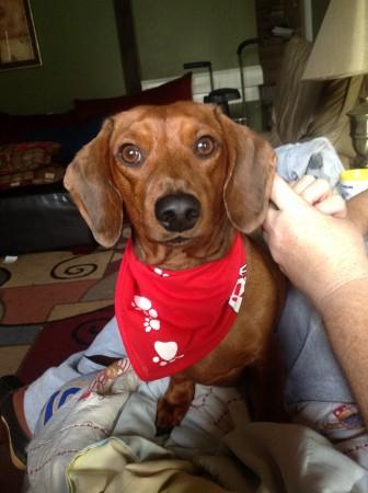 Red short haired dachshund