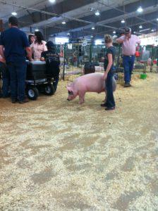 4H pig walking