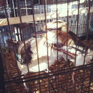 Kookaburra eats a mouse