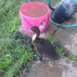 Outdoor Duckling