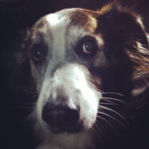 Senior dog, Patches