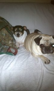 Rat terrier and Pug