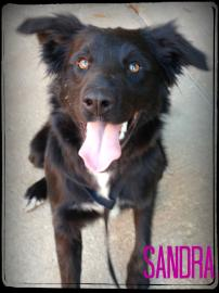 Border Collie mix for adoption