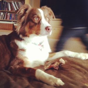 Beautiful red copper tri Australian shepherd