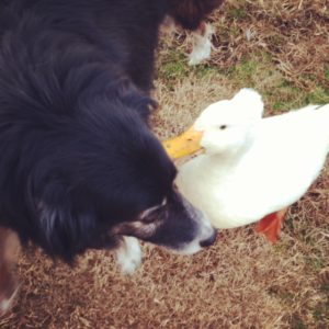 The Duck Has a Secret