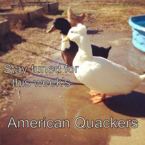 Silly Ducks