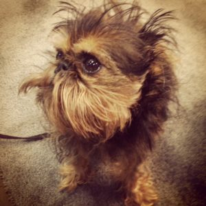Adorable dog, Brussels Griffon