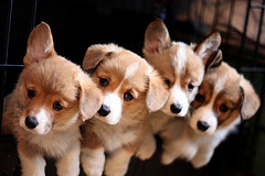 Welsh Corgi pups