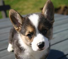Corgi puppy, but no fleas