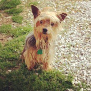Handsome Yorkie - terriers rock