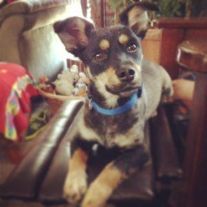 Terrier Jack