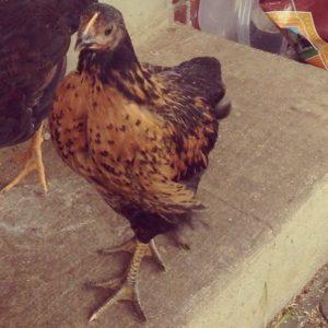 Pretty hen