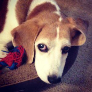 Sad Beagle