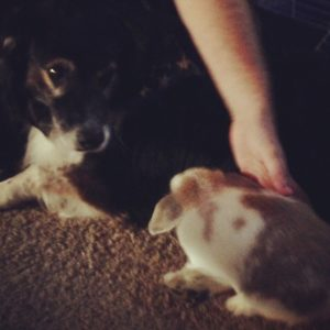 Holland Lop and dog