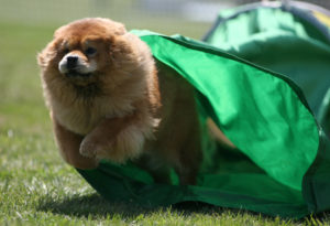 Chow Chow, AKC