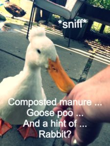Sniffing duck