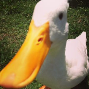 Handsome white duck