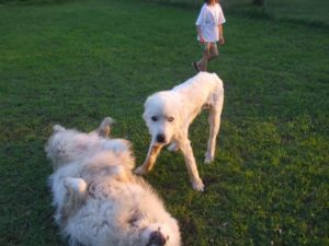 Rescued Great Pyrenees