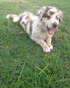 A winking Australian Shepherd puppy