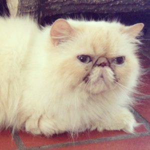 Handsome cream point Himalayan