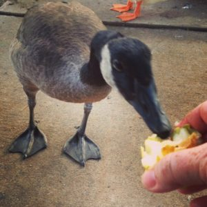 The goose likes pears