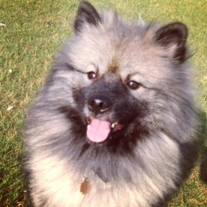 Cutest Keeshond ever! www.dogtreatweb.com