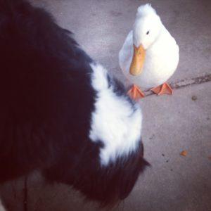 The duck whisperer