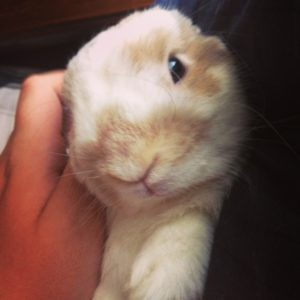 Adorably cute Holland Lop
