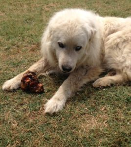 Great Pyr with a Jones Crown Knuckle