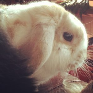 Holland Lop, Humperdink
