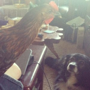 A chicken and a dog - in the house