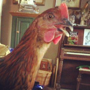 Talking chicken
