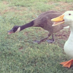 Canada goose and Aylesbury duck