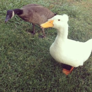 Best friends - a duck and a goose