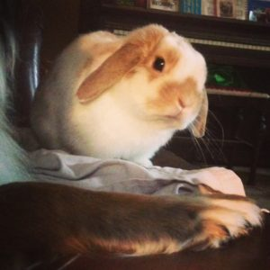 Holland Lop being cute
