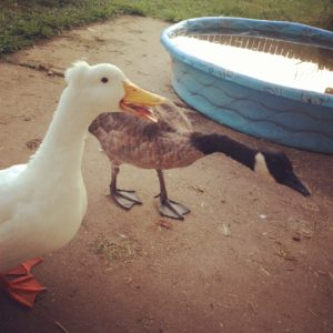 A duck and a goose - partners in crime