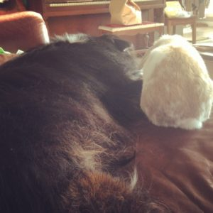 Aussie mix and Holland Lop