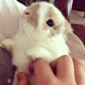 Cute Holland Lop