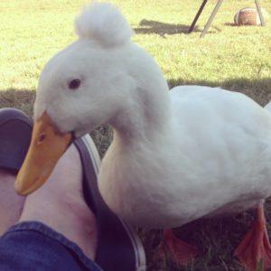 He's a lovey duck