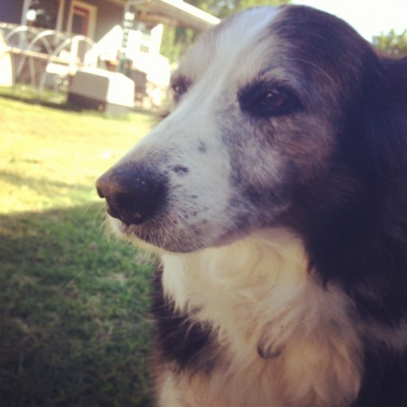A senior Australian Shepherd mix