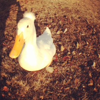 Jimmy the Duck