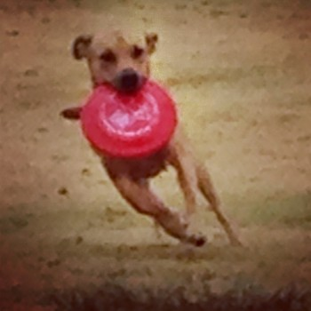 Flying disk catching dog