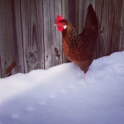 Beautiful brown leghorn in the snow