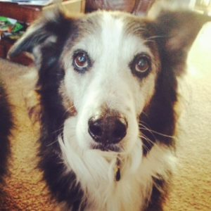 A sweet senior Aussie