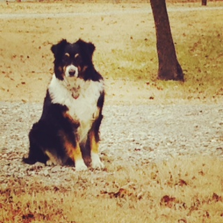 Jessie the Australian Shepherd