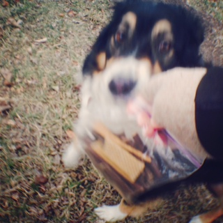 The Aussie goes for the treat bag!