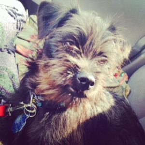 Affenpinscher puppy face